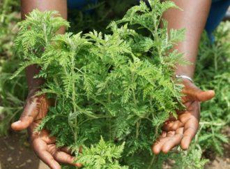 Covid-19 : Faux, la RDC n'a validé aucun remède à base d'artemisia